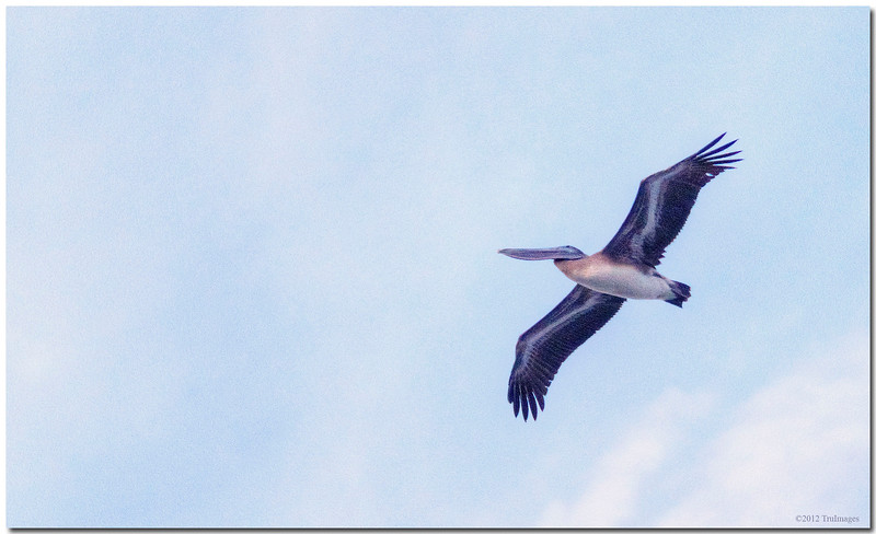 Dec 28<br /> First in flight<br /> <br /> A pelican glides effortlessly above off the Carolina coast