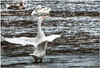 Oct 4 <br /> Prima Ballerina<br /> <br /> A white goose decides to stutt her stuff, as if she knew i was photographing her! (From the September archives)<br /> <br /> I appreciate all of the lovely comments yesterday! Your comments inspire me to be a better photographer!
