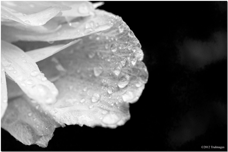 Aug 12<br /> petals and droplets<br /> <br /> A flower from the backyard from the 'Rose of Sharon' shrub.(its actually a wildly overgrown tree now, which needs pruning!)