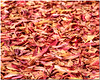 Dec 7<br /> Autumn carpet<br /> <br /> Fallen leaves provide a colorful carpet! <br /> Happy Friday everyone!<br /> <br /> Thanks for commenting!