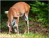 July 20<br /> Urban deer<br /> <br /> Another of my backyard buddies, who surprisingly likes birdseed!