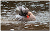 Sept 8 <br /> bath time!<br /> <br /> More photos from the labor day shoot. So many geese floating in the Dan river and all were giving a show!