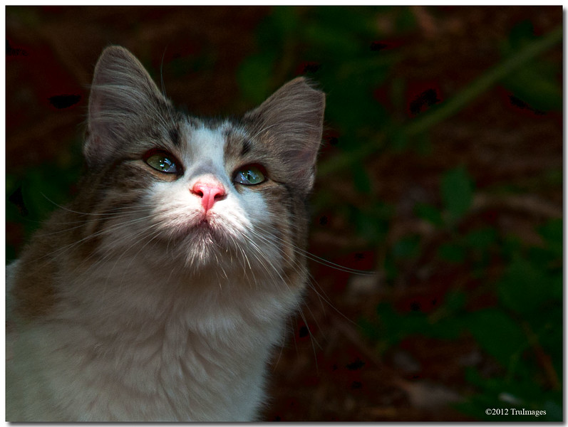 Oct 13 <br /> Glamour Kitty<br /> <br /> This neighborhood kitty cruises through my backyard everyday. I happened to catch her in this shot just as she emerged from the trees. She did not see me, otherwise she would have dashed back into the woods!