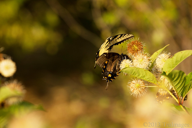 Aug 6<br /> War of the Swallowtails<br /> <br /> These butterflies were maneuvering for position to get a sip of nectar from this bush.
