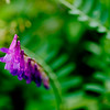 Jun 24<br /> Purple and pink<br /> <br /> Not sure what type of wildflower this is, but its colorful hanging pods caught my eye. Most were straight but this particular one had a nice curved shape..<br /> <br /> Thanks for viewing and commenting! Its Monday, yet again!