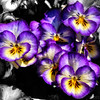 Apr 7<br /> Pretty little pansies<br /> <br /> Colorful pansies bask in the afternoon sun!<br /> Have a great Sunday everyone!<br /> <br /> Thanks for your visits and critiques!