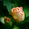 Jul 2<br /> Rose buds<br /> <br /> Budding flowers from the Rose of Sharon shrub<br /> <br /> Thanks for viewing and commenting. Your comments inspire me to be a better photography! Thank you!!