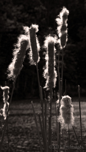 May 21<br /> Nature's Cotton Candy<br /> <br /> Discovered these beautifully backlit cattails along side a lake. Opted for B&W to showcase the light.<br /> <br /> Thanks for enjoying my macro series over the past week!! I appreciated all of the comments!