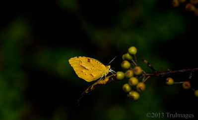 Oct 11 Hanging out  A sulphur butterfly enjoys the last days of summer.  Happy Friday everyone!  Thanks for all of your wonderful comments on my storm shot yesterday!