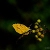 Oct 11<br /> Hanging out<br /> <br /> A sulphur butterfly enjoys the last days of summer. <br /> Happy Friday everyone!<br /> <br /> Thanks for all of your wonderful comments on my storm shot yesterday!