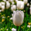 Apr 22<br /> Simply, a tulip<br /> <br /> A beautiful white tulip stands apart from the rest in a tulip garden.<br /> <br /> Hope everyone had a relaxing and wonderful weekend!