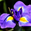 Apr 24<br /> Eye of the Iris<br /> <br /> A purple iris from Duke Gardens. Such a beautiful place during the spring! So many flowers and so many photographers!!<br /> <br /> Happy Wednesday....we are half way through the week!!<br /> Thanks for the lovely comments on my Japanese maple garden yesterday. You guys inspire me to step out of my comfort zone with your wonderful and fresh images everyday!