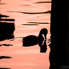 Jun 11<br /> A duckling and its thoughts<br /> <br /> There was a mallard family at the lake Sunday. This little guy decided ,against moms wishes, to go for a quick swim. After hearing all of the commotion, dad, who was already in the water, sends the kid back on shore with the rest of the family! I managed to get this shot before he was sent packing by dad.<br /> <br /> Thanks for enjoying yesterdays photo of the black snake!