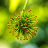 May 8<br /> Brand new<br /> <br /> A new seed pod from my maple tree in the backyard. I love the new bright greens of spring!<br /> <br /> Thanks for checking out my photos!! Much appreciated