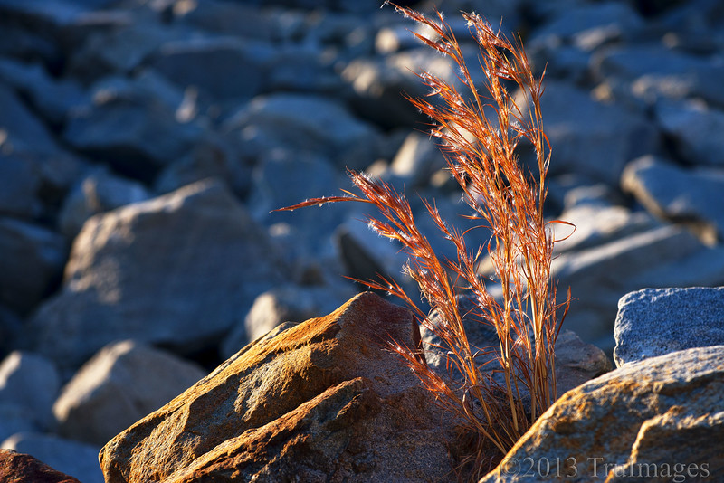Dec 19<br /> Tenacity<br /> Determined to exist, ornamental grasses reach for the sunlight between the boulders