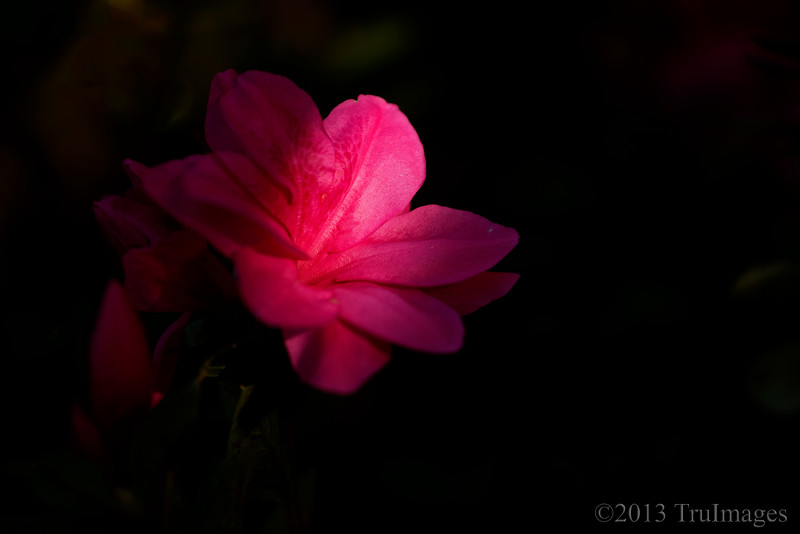 Sept 18<br /> Encore, encore!<br /> <br /> My encore azaleas are now flowering again. My little bushes are filled with beautiful pink flowers. It seems like Spring all over again!<br /> <br /> Your comments are always welcomed and appreciated!