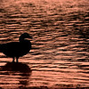 May 15 Silhouette   A Canada goose stands in a shallow lake, as if contemplating life!  Thanks for the wonderful comments on yesterdays photo!! There is so much talent here and I appreciate each and every comment!