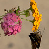 Oct 21<br /> Last days of summer<br /> <br /> A skipper hangs onto this lantana as if its trying to hang on to summer!<br /> <br /> Thanks for your comments on my O shot yesterday. I was traveling most of the day yesterday so didn't get a chance to catch up with everyone. Hope to see all of the magnificent O's from yesterday later today!<br /> Happy Monday!
