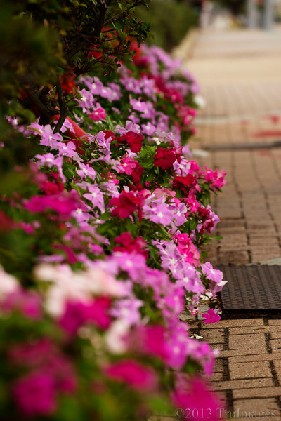 Oct 14<br /> Street flowers<br /> <br /> Some pretty litle pink flowers along the sidewalk in Virginia beach.<br /> Thanks for enjoying my N shot yesterday!