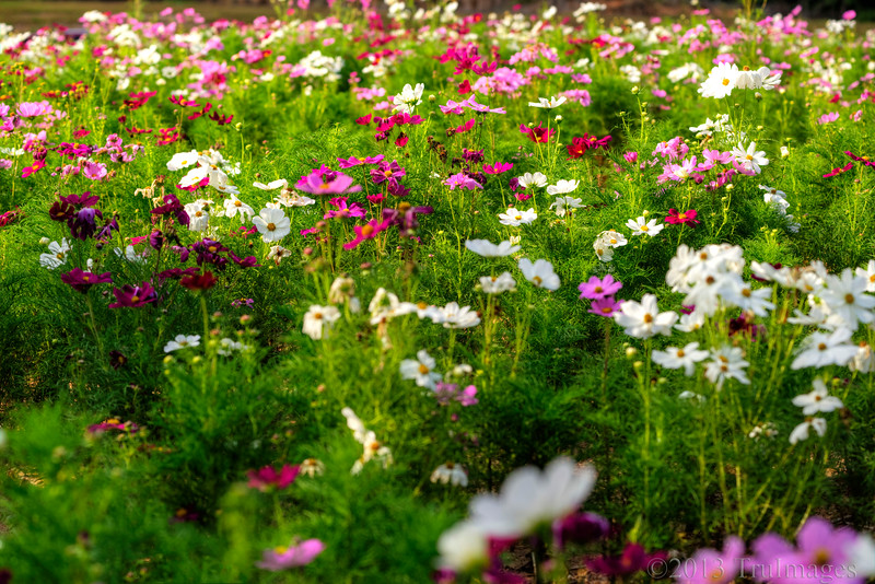 Oct 15<br /> Cosmos corner<br /> <br /> These covered the median of the highway with grace and beauty!<br /> <br /> Thanks for your wonderful comments on yesterday's photo. I will try to catch up with commenting today!