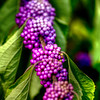 Oct 18<br /> Purple power<br /> <br /> Not sure what kind of berries these are but they had beautiful color I thought! The shrub they were attached to was about 5-6 ft high and  was very dense.<br /> <br /> Thanks for viewing and Happy Friday!