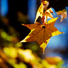 Dec 5<br /> Shining Star<br /> <br /> I liked the shape of this golden leaf and how it contrasted with the blue in the background.<br /> Thanks for all of your wonderful comments. I've been busy and slow with commenting but im trying to catch up!
