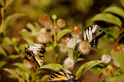 Aug 20 Butterfly business  More swallowtails and webworms at the button bush.  I think I will planting one of these in my yard next year!  Thanks for taking the extra effort to view and comment!