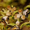 Aug 20<br /> Butterfly business<br /> <br /> More swallowtails and webworms at the button bush.  I think I will planting one of these in my yard next year!<br /> <br /> Thanks for taking the extra effort to view and comment!