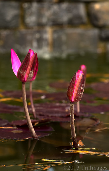 Oct 27<br /> P= Pink Water Lily<br /> <br /> Pretty pink water lilies, waiting for their chance to blossom!<br /> Have a great Sunday!