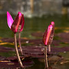 Oct 27 P= Pink Water Lily  Pretty pink water lilies, waiting for their chance to blossom! Have a great Sunday!