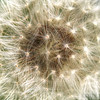 Apr 18<br /> Dandelion art<br /> <br /> This started out as a totally different idea, then I noticed all of the intricacies revealing themselves, so I moved in a little closer for a more creative capture.<br /> <br /> Thanks for the warm response to my fisherman photo yesterday. I was pleasantly surprised so many of you liked it!!