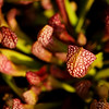 Oct 30<br /> Pretty pitcher<br /> <br /> A pretty pitcher plant waits patiently for a careless victim!