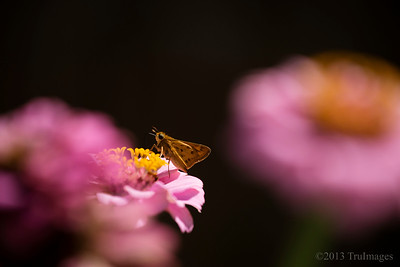 Sept 26 Dining out  A little skipper dines on flowers in my aunts backyard in Va!  Thanks for the great response to my great blue heron fishing shot yesterday.  Many inquired but he did not catch a fish that time!