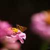 Sept 26<br /> Dining out<br /> <br /> A little skipper dines on flowers in my aunts backyard in Va!<br /> <br /> Thanks for the great response to my great blue heron fishing shot yesterday.  Many inquired but he did not catch a fish that time!