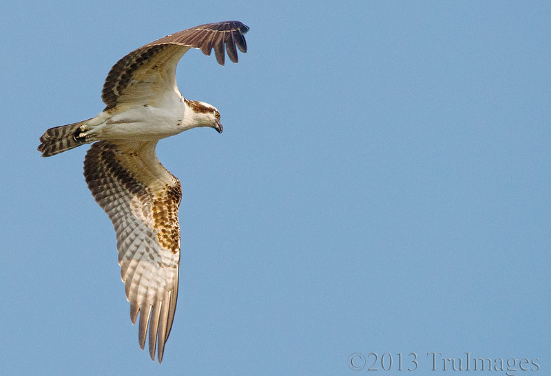 Aug 26<br /> Soaring<br /> <br /> An ospreys soars high above searching for a nutritious fish meal!<br /> <br /> Thanks for the wonderful response to my G photo for yesterday!