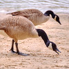 Jun 1<br /> Breakfast<br /> <br /> A couple of Canada geese find bread crumbs in the sand.<br /> <br /> Thanks for commenting!!<br /> Enjoy the weekend!