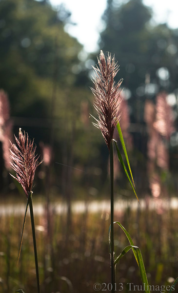 Nov 14<br /> Roadside beauty<br /> <br /> Some pretty backlit reeds along a road  in Va