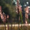 Nov 14<br /> Roadside beauty<br /> <br /> Some pretty backlit reeds along a road  in Va