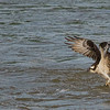Aug 8<br /> Gotcha!<br /> <br /> An osprey  flies off with his prize!<br /> <br /> Thanks for enjoying my photos!