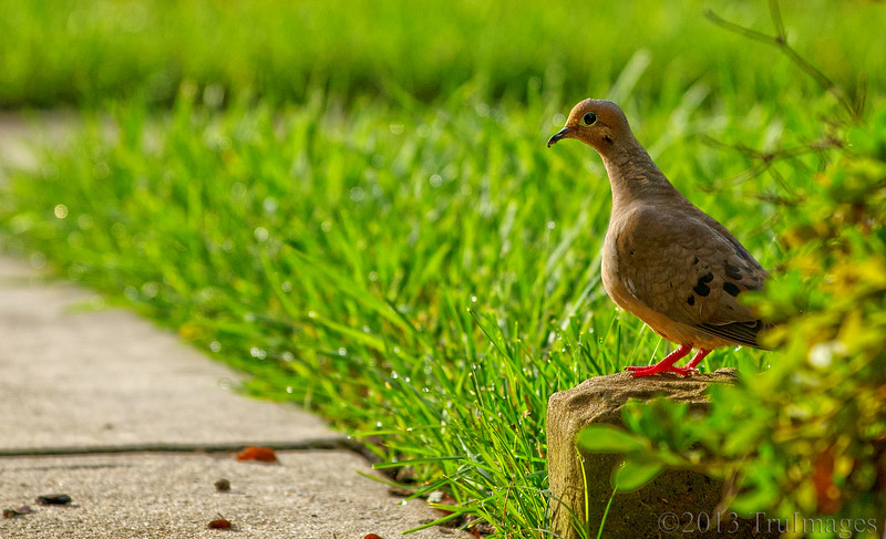 Sep 3<br /> Wide Eyed<br /> <br /> A mourning dove sits on a brick, surveying the front lawn, early in the morning. I think its odd that they seem so comfortable walking around on the ground, but I guess all birds are! Maybe they are so noticeable because they are larger!<br /> <br /> Thanks for all of the wonderful comments on my H photo. It was a last minute idea that I'm glad I photographed!