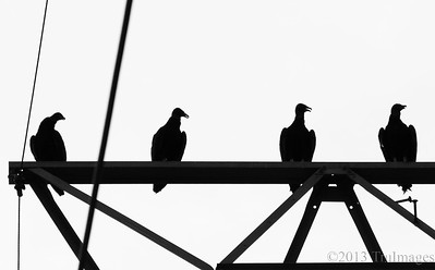 Jul 21 B =B&W Black vultures   These Black vultures were sitting high above a lake, watching and waiting for an easy fish dinner! Have a great Sunday everyone!