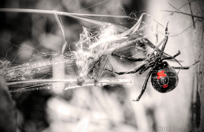 "Apr 27<br /> The Black widow<br /> <br /> Springs brings beautiful flowers, but it also brings spring pests!! I was cleaning around my mailbox and my boyfriend yells ""Spider!""  Mortified as he points to this black widow which was about 4 inches from where I was pulling weeds, I run to my arsenal of potent bug sprays, because in my mind it must DIE!. Out of the blue he yells bring the camera and I'm thinking ""what the...!''   So here is what I saw when I recognized it as a black widow!<br /> <br /> Have a pest free weekend!!<br /> Thanks for enjoying the 'fiery leaves' yesterday!"