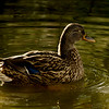 Nov 19<br /> Snoozeville<br /> <br /> Found this female mallard snoozing and floating!<br /> Thanks for all of your wonderful comments!