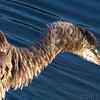 Sept 19<br /> Ruffled <br /> <br /> A great blue heron, after a good preening!