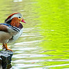 "Apr 29<br /> Contemplating life<br /> <br /> A freshly preened mandarin duck sits on the edge of a pond, awaiting the answer to a question passed down through many generations of ducks...""Does anyone have food!""<br /> <br /> Have a great week everyone!!"