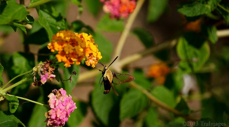 Sept 20<br /> Mid Air sip<br /> <br /> A clearwing moth takes a sip of nectar.