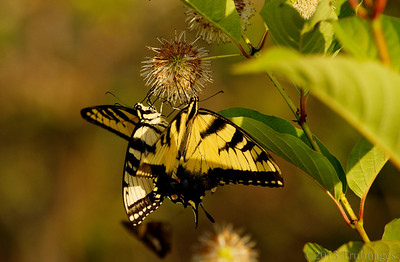 Aug 12 Dual Swallowtails  Two tiger swallowtails feed at a buttonbush. These beauties were a favorite of mine as a kid!