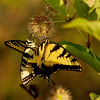 Aug 12<br /> Dual Swallowtails<br /> <br /> Two tiger swallowtails feed at a buttonbush. These beauties were a favorite of mine as a kid!