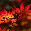 Apr 26<br /> Fiery leaves<br /> <br /> Not to be outdone by surrounding flowers, Japanese maple leaves show of their vibrant color in the spotlight! Taken last weekend at Duke gardens.<br /> <br /> Happy Friday everyone! Thanks for commenting!! Much appreciated!