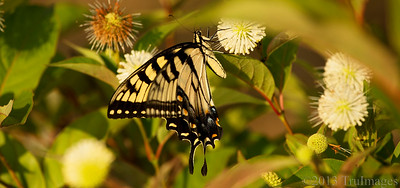 Aug 27 Single swallowtail  These guys are pretty popular in NC and very easy to photograph!  Thanks for viewing and commenting!!